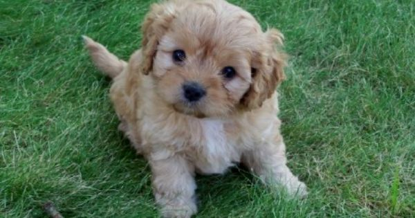 I Want A Cavapoo I Will Name Her Maya Cavapoo Dogs Puppies Cute Puppies