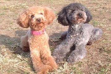 Toy Poodle Joins Other Small Dogs As Part Of Japanese Police Force