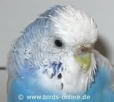 Molting Faqs Talk Budgies Forums Parakeet Care Budgies Budgies Bird
