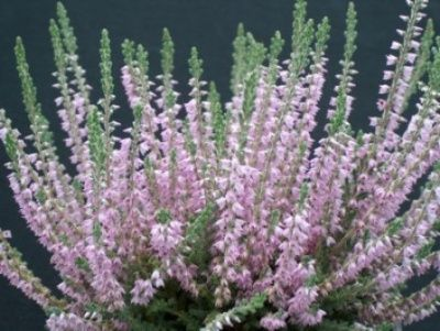 Calluna Vulgaris Silver Knight Heather Sun Part Sun 16 X20 Upright Habit Hardy To Zone 4 3 With P Heather Flower Silver Knight Plant Care