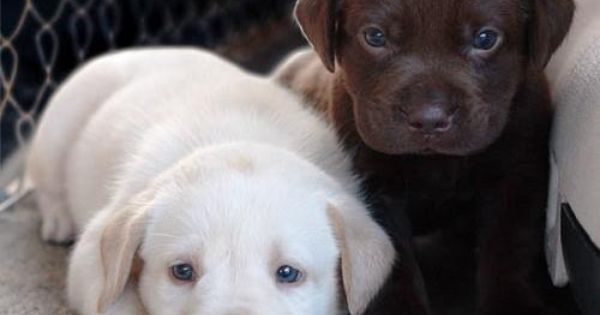 labrador puppies. My daughters first pet was a chocolate lab puppy named