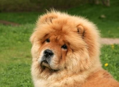 Chow Chow Dog Breed Facts Dog Breed Names Dog Breeds Dogs