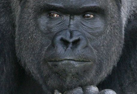 Animals Gallery » Blog Archive » what a handsome ape. This male