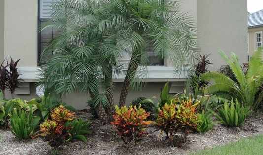 Pygmy Palm Pygmy Date Palms Are Popular Landscape Focal