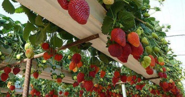 "What a great idea ~ Google ""growing strawberries in rain gutter"" to"