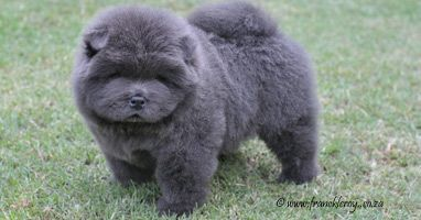 Blue Chow Chow Puppy Dogs Blue Chow Chow Puppies Rough And