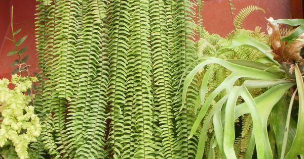 Helecho babil nico y helecho cuerno de alce helechos for Plantas ornamentales helechos