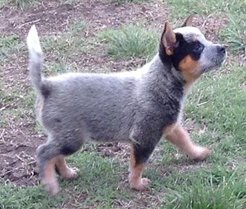 Texas Blue Heelers Akc Registered Blue Heeler Puppies Waller County Texas Heeler Puppies Blue Heeler Puppies Heeler