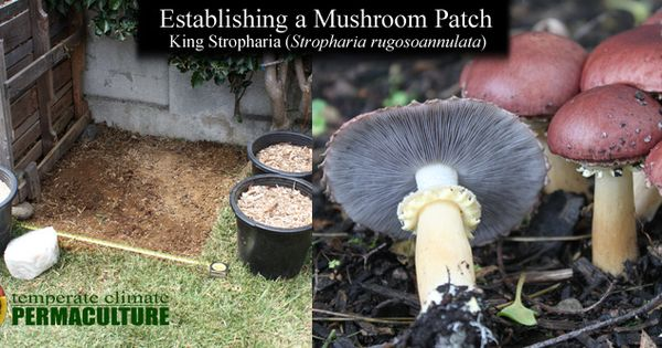 Making a Mushroom Patch King Stropharia Garden Giant Mushrooms
