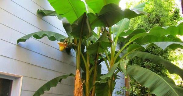 Plante exotique int rieur plante exotique bananier for Plante exotique jardin