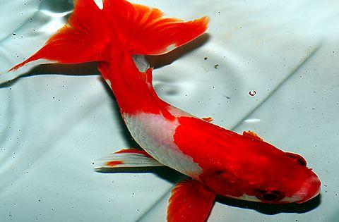 Goldfish beautiful wakin goldfish for the pond for Dragon koi fish for sale