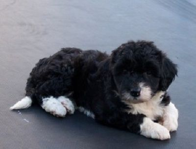 21 Unreal Poodle Cross Breeds You Have To See To Believe Poodle Cross Breeds Poodle Mix Puppies Collie Poodle Mix