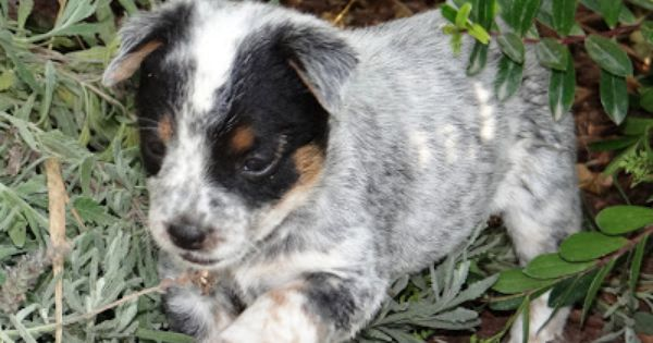The Puppies Are All Sold Again Heeler Puppies Blue Heeler Puppies Australian Cattle Dog Blue Heeler