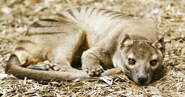 Tiger London Zoo Prehistoric Animals Rare Animals Endangered Animals