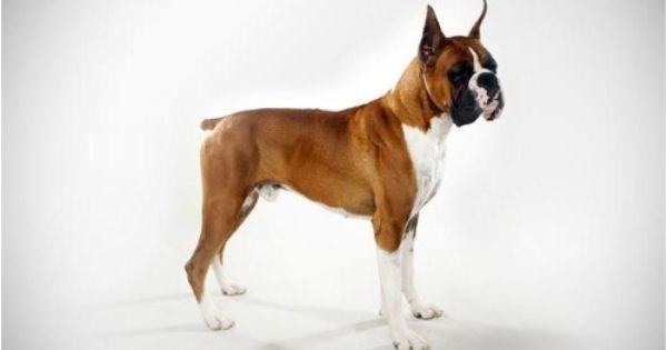 Boxer Dog Insurance Compare Plans Boxer Dog Breed Boxer Dogs Dog Breeds
