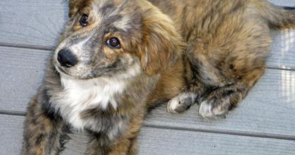 Taylor The Aussie Shep Chow Chow Mix Mixed Breed Dogs Chow