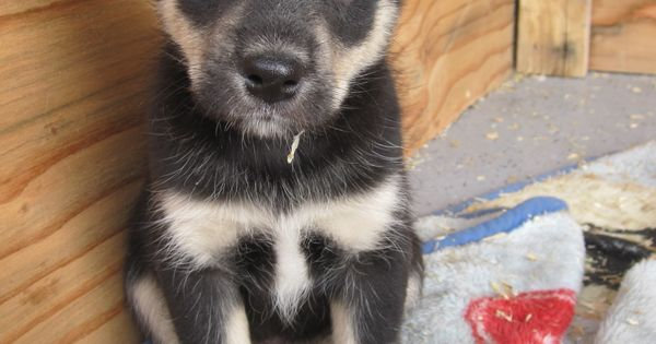 This will be my dog!! Husky Aussie Rottweiler