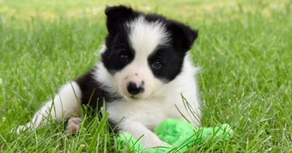 2j2k Border Collies Puppies For Sale Border Collie Puppies That Are Raised Right For You Border Collie Puppies Maremma Sheepdog Puppy Border Collie