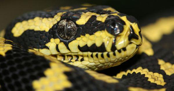 Morelia Spilota Cheynei Jungle Carpet Python Cute Snake Python Reptiles