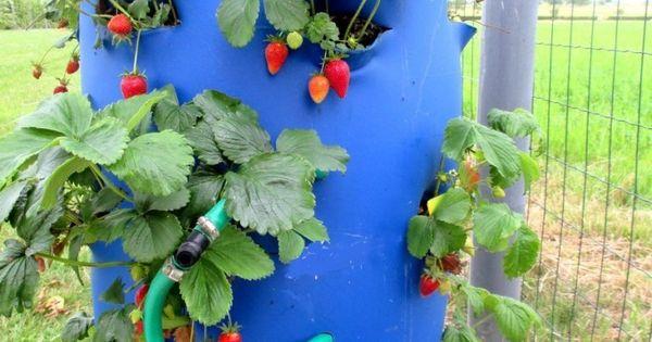comment planter des fraises sur un balcon en ville. Black Bedroom Furniture Sets. Home Design Ideas