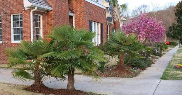 Windmill palms cold hearty chattanooga tennessee for Hearty plants for outdoors