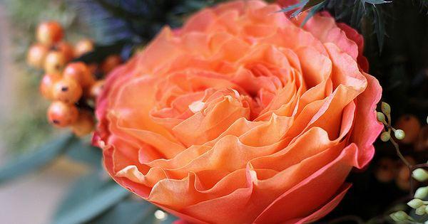 Coral Garden Rose free spirit garden rose | roses | pinterest | gardens