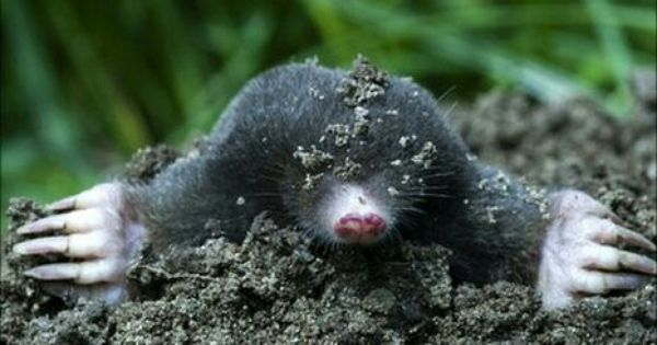 There Were Three Moles A Mom Dad And Their Baby They All Lived Down In Their Hole In The Ground One Morning The Dad Mole Animal Spirit Guides Animals Mole