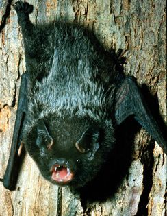 Silver Haired Bat Lasionycteris Noctivagans Do Not Attempt To Feed Or Pet This Link Explains How To Get Rid Of Bats Humanely Http Www Wik Silver Haired Bat