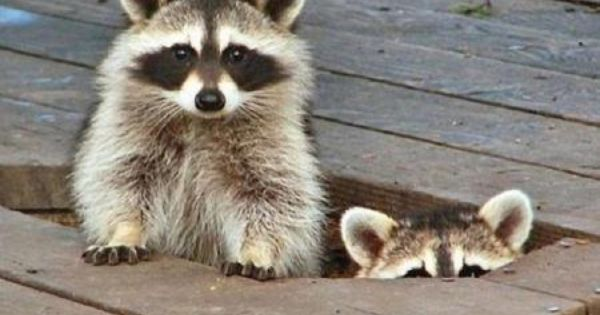 animals raccoons weasels friends - photo #41