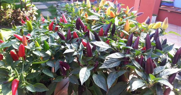 Chilli peppers acapulco series orange purple and red for Giant chilli thai