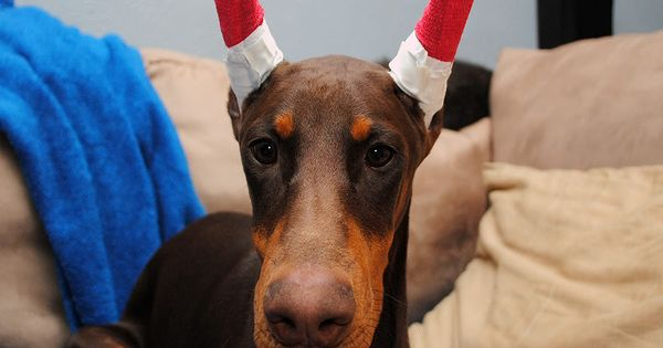 How To Tape Doberman Ears Photo Tutorial Hard Work To Keep These