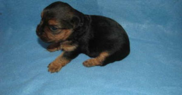 Yorkshire Terrier For Sale Hoobly Classifieds Teacup Puppies Cute Teacup Puppies Yorkie Poo Puppies