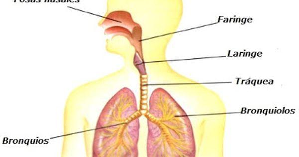 Imagenes Del Aparato Respiratorio O Sistema Respiratorio