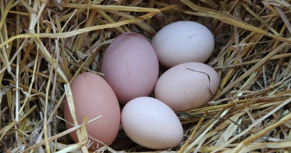 Caring for Your Eggs, how to store,clean and label your cartons.