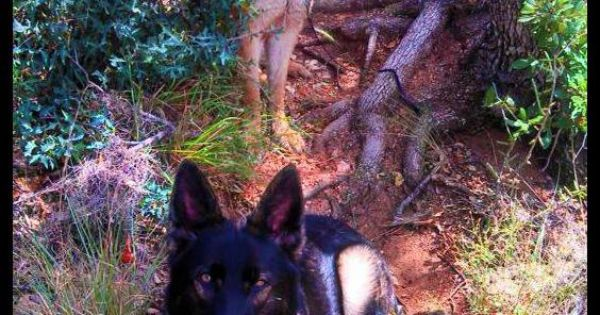 Pin By Giselle Vinter On German Shepherds German Shepherd German Shepherd Dogs Shepherd Dog