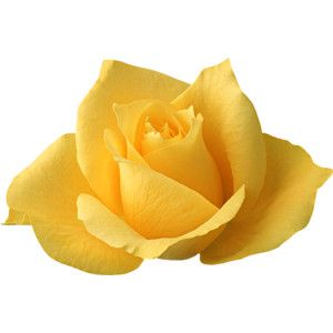Transparent Yellow Rose Png Yellow Rose Flower Yellow Roses Flowers