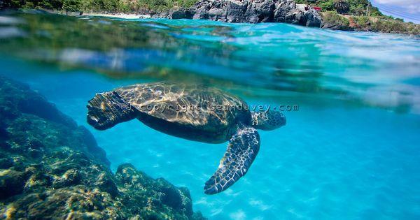An under water view of Hawaiian sea turtle at Waimea Bay on