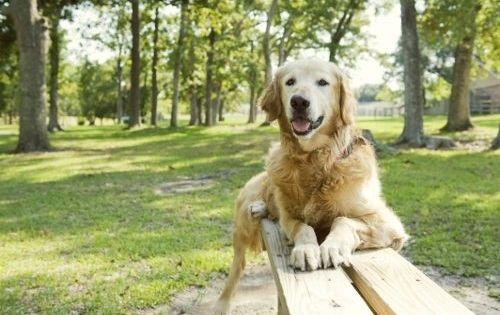 Golden Beginnings Petfinder Adoptable Dog Golden Retriever Houston Tx Shae Dog Adoption Golden Retriever Dogs Golden Retriever