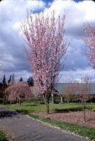 Columnar Flowering Cherry 35 H X 15 W Progressive Plants Catalog Backyard Trees Small Trees For Garden Columnar Trees