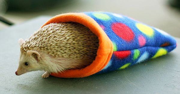 {hedgehog cozy} in love. Looks like Dex!
