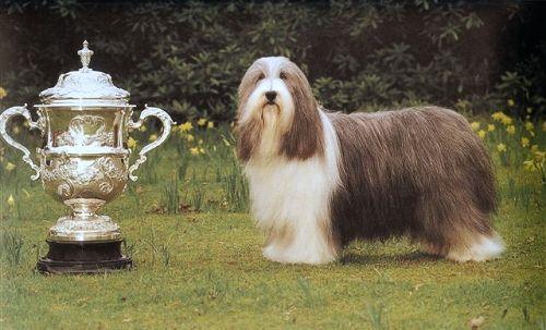 Bearded Collie Colley Barbu Raza Britanica Es Un Perro Magro Y