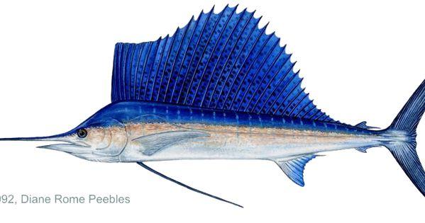 Sailfish Sailfish Atlantic Florida Fish Fish Sailfish