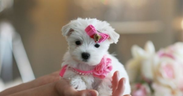 Teacup Maltese Puppies For Sale Florida Maltese Puppy Very Cute Puppies Very Cute Dogs