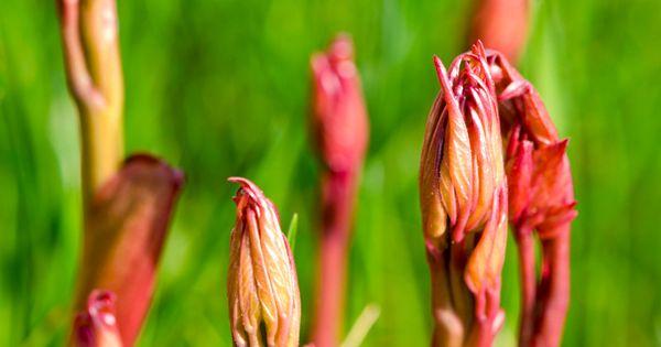 Liscie Piwonii Wiosna Plants Asparagus Vegetables