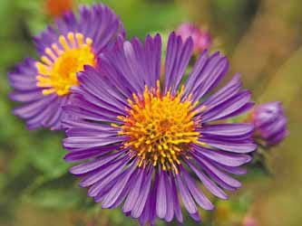 New England Aster Symphyotrichum Novae Angliae Uses Medicinal Duration Perennial Hardy In Zones 4 9 Purple Flower Names Birth Flowers Bee Friendly Plants