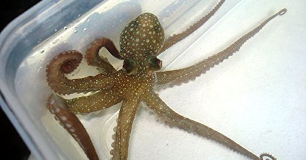 Live pygmy octopus for saltwater reef fish tank aquarium for Octopus fish tank