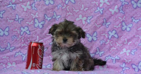 Island Puppies Morkie Puppies Puppies Morkie Puppies For Sale