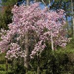 A Japanese Magnolia Tree Blooming In The Spring Over Tulips Japanese Magnolia Tree Magnolia Trees Japanese Magnolia