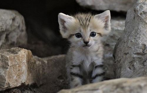 sand cats are one of the smallest wild cats in the world
