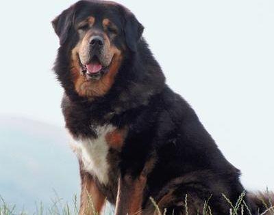 Caucasian Shepherd Vs. Tibetan Mastiff | Tibetan mastiff ...